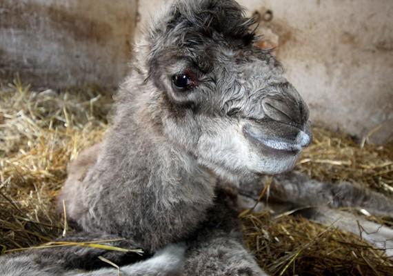 Április 10-én tevecsődör született a Veszprémi Állatkertben. Az anya sajnos nem neveli a kis tevét, így a gondozók táplálták őt kecsketejjel, cumisüvegből.
