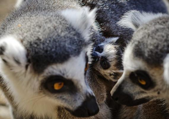 Új lakókkal bővült a Debreceni Állat- és Növénykert március 11-én: két gyűrűsfarkú makikölyök született.