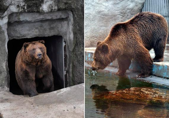 Tibor, a kamcsatkai medve a kifutójában. Ahogyan a jóslás eredményéről az állatkert beszámolt, február 2-án napos idő volt Budapesten, vagyis a medve látta az árnyékát. Ebből az következik, hogy hosszú télre számíthatunk.