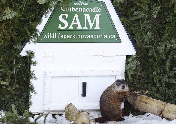 A mormotajóslás él Kanadában is. Ezen a fotón Sam szerepel, aki a Nova Scotia tartománybeli Shubenacadie-ben lakik. Samnek sem volt árnyéka.