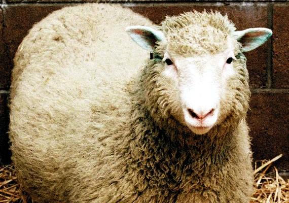 Íme Dolly, az első klónozott emlős.