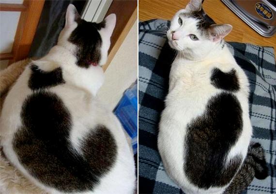 Ezen a cicán egy másik macska is helyet kapott.