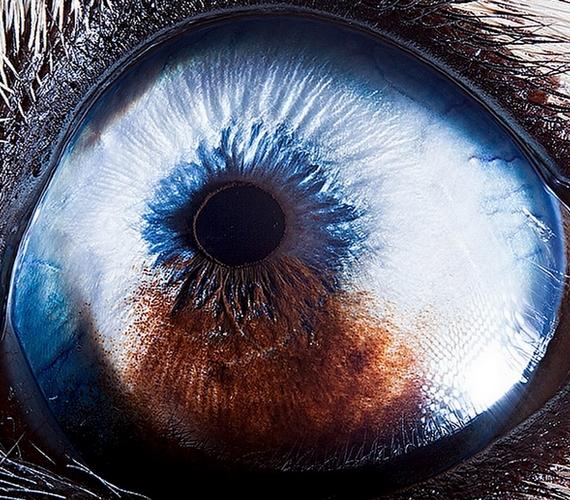 A husky gyönyörű, kék szeme közelről inkább ijesztőnek hat.