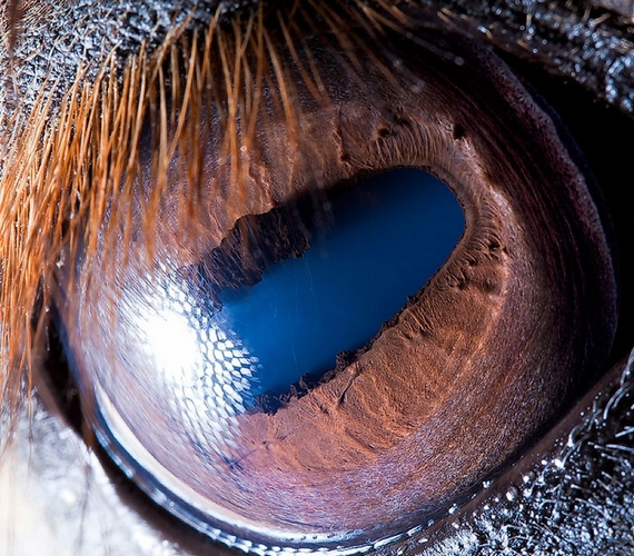A ló szeme a lámáéhoz hasonlóan tavas tájra emlékeztet.
