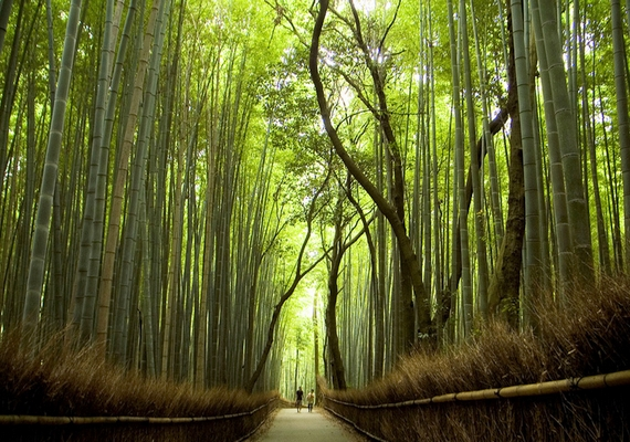 Íme, a különleges, hatalmas bambuszerdő.