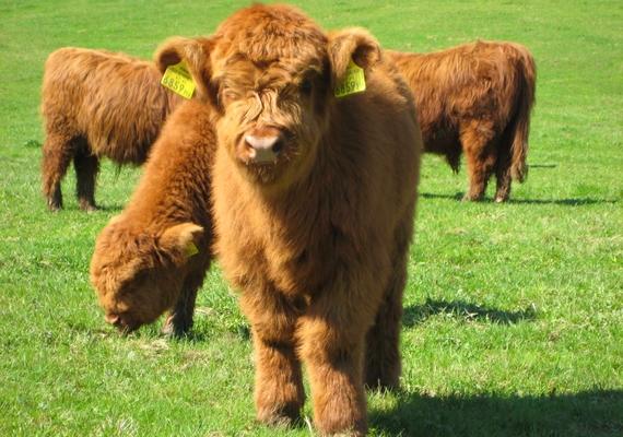 Több fajtájuk is van, a skót felföldi marhák például borzasak, másokat pedig plüss-szerű bunda borít.