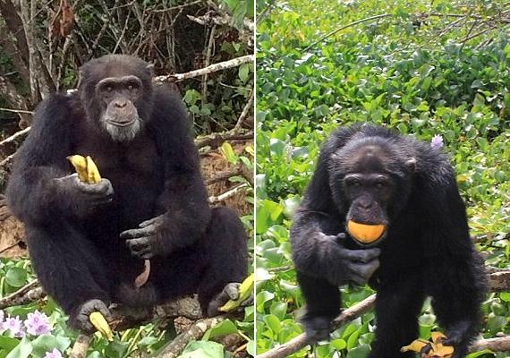 Germain sokszor visz gyümölcsöt és kenyeret Ponsónak, így az élelemre nincs gondja.