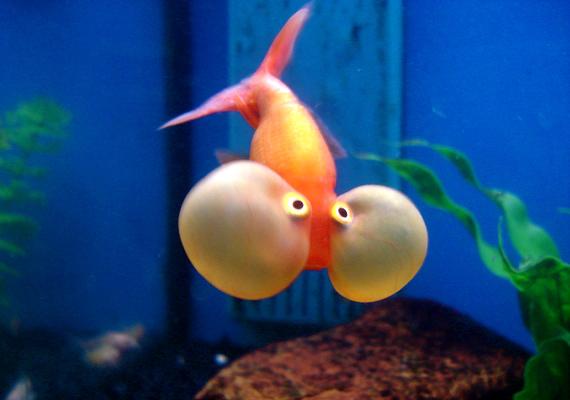 Az égrenéző aranyhalnak valószínűleg nem szóltak, hogy nem kell visszatartania a lélegzetét a víz alatt.