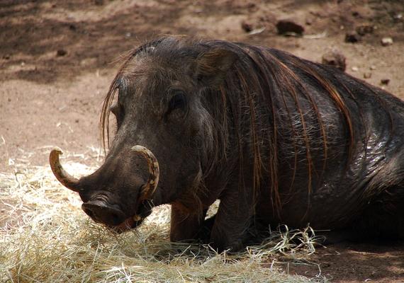 A szavannai varacskosdisznó talán azért olyan szomorú, mert nem tartozik a legszebb fajok közé.