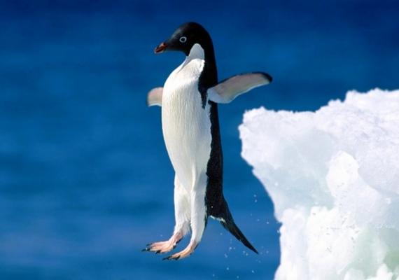 Az Adélie-pingvinek mintha mindig frakkot viselnének, pedig korántsem olyan elegánsak: a hímek igazi élvhajhászok, és ha a szükség úgy hozza, akár a földdel is képesek intim kapcsolatba kerülni.