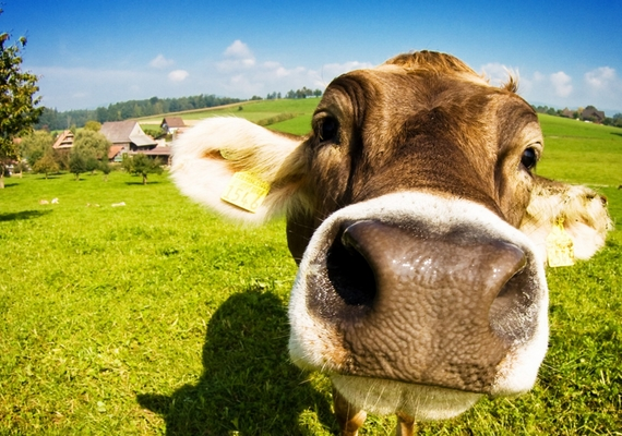 A tehenek mindenhogyan aranyosak - foltosan, szürkén, lilán -, azonban a sok legelésnek is megvan az átka: közel két liter gáztól szabadulnak meg. Percenként.