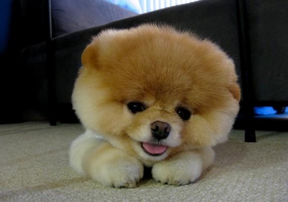 Az internet leghíresebb kutyája, Boo egy boldog eb.