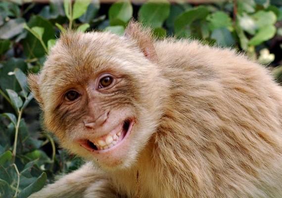 Igen előnyös lett ez a fotó a majomról, még fogkrémreklámnak is beillene.
