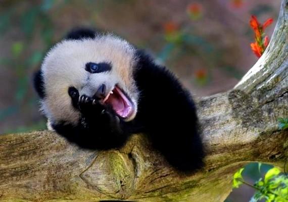 A panda már nem bírja, lassan kidől a nevetéstől.