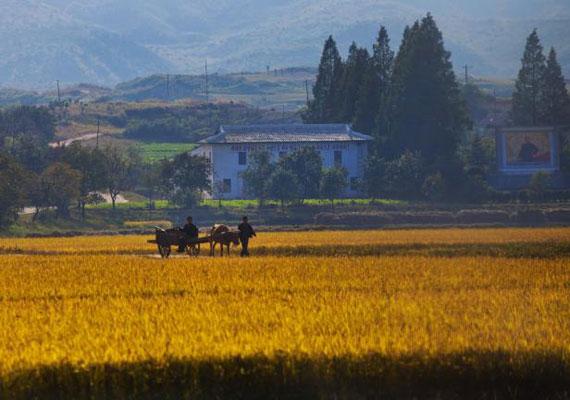 A vidéki Észak-Koreáról kiszivárgó fotók szinte középkori állapotokat sugallnak. Az utakat kerékpárokon kívül állatok vontatta járművek veszik igénybe, de a mezőgazdasági munka is sok helyen állati segítséggel történik.