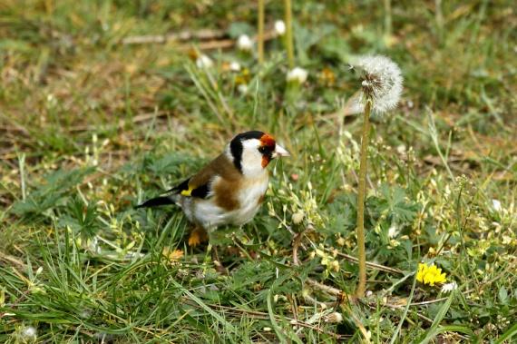 A hármas számú versenyző a tengelic, aki latinul az előkelő Carduelis carduelis nevet viseli. Az apró, csinos madár egy pintyféle. Magokkal, hernyókkal, apró rovarokkal táplálkozik. Szép sárga szárnyalja feltűnő, ha repül. Eszmei értéke szintén 25 ezer forint.