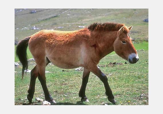 Az Eurázsia vadló - Equus ferus - a magyarok ősi háziállata volt. A veszélyeztetett állatnak jelenleg négy nagyobb populációja ismert, ebből az egyik a Hortobágyi Nemzeti Parkban él.