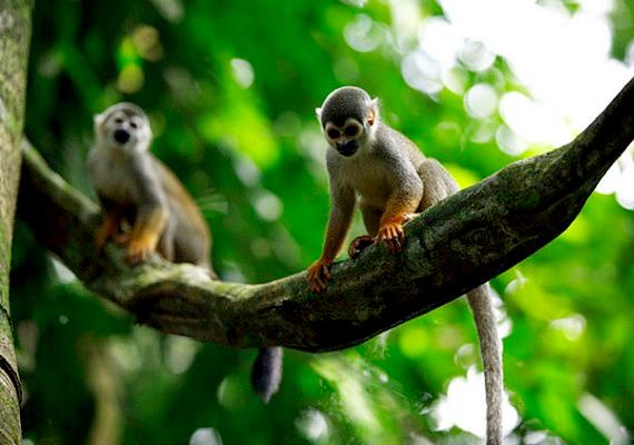 Rendkívül gazdag állatvilága van az amazonasi erdőnek.