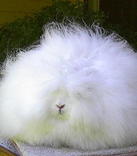 AngóranyúlAz angóranyúl származásáról keveset tudni, feltehetően szülőhazája valahol Kis-Ázsiában van. Jellegzetes gyapjújáért elsőként Kasmírban tenyésztették, majd Angliában lett népszerű, manapság azonban a világ számos pontján tenyésztik. A 3-5 kilogrammos nyúl évente több mint fél kilogrammnyi gyapjút termel. Elsősorban albínó változatát kedvelik.