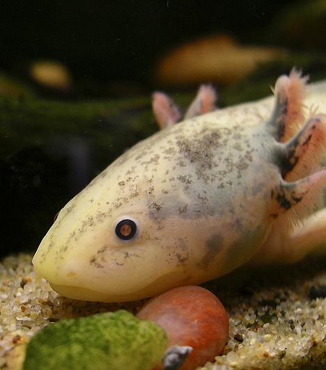 Axolotl  A harántfogú gőték családjába tartozó axolotl őshazája Mexikó. A 28-35 centiméter hosszú állat színe eredetileg szürkésbarna, testét sötétebb és világosabb foltok tarkítják. Természetes környezetben az axolotlok ragadozó életmódot folytatnak: kedvenc eledeleik közé tartoznak a vízi férgek, csigák, rákok és a kisebb halak.  Kapcsolódó cikk: Lenyűgöző állatfotók »