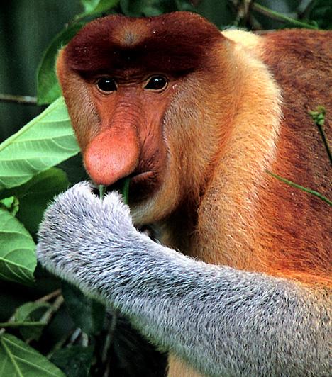 Borneói nagyorrú majomEz a különleges majomfajta Borneo sűrű láperdeiben él. Ismertetőjele a hímek megnagyobbodott orra, amelynek hossza esetenként elérheti a 17 centimétert is, amelynek valószínűsíthetően a zengő orrhang képzésében van szerepe. Az egyik legnagyobb fán élő majomfajta: a hímek súlya elérheti a 20 kilogrammot is - a nőstények súlya általában alig 10 kilogramm.