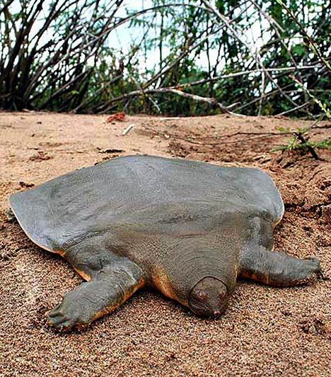 Cantor lágyhéjú teknősA lágyhéjú teknősök közé tartozó Cantor lágyhéjú teknős igen ritka állatfaj, amely akár két méter hosszúra is képes megnőni, súlya pedig elérheti az 50 kilogrammot is. Erre az óriás, 11 kilogrammos példányra Kambodzsában akadtak rá 2007-ben.
