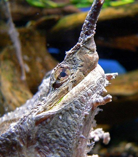 MatamataA matamata Dél-Amerikában, Ecuadortól Peruig, Bolíviától Kolumbián át egészen Venezuela északi részéig elterjedt teknősfaj. Külső megjelenése – elsősorban különleges, kőhöz hasonlító páncéljának köszönhetően - segíti, hogy teljes mértékben beleolvadjon a környezetébe. Érdekes páncélja és bőre miatt cafrangos teknősként is emlegetik.