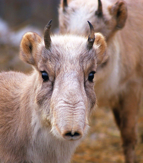 TatárantilopA szajga néven is ismert állat Közép-Ázsia füves síkságain él, legfőbb táplálékai a fűcsomók és a zuzmók. Különös ismertetőjele a hatalmas orrüreg, amely a hímek esetében a párzási időszak alatt még meg is duzzad. A tatárantilop nem kedveli a magányt: csordákban él, melyek a vándorlás során egyesülnek.