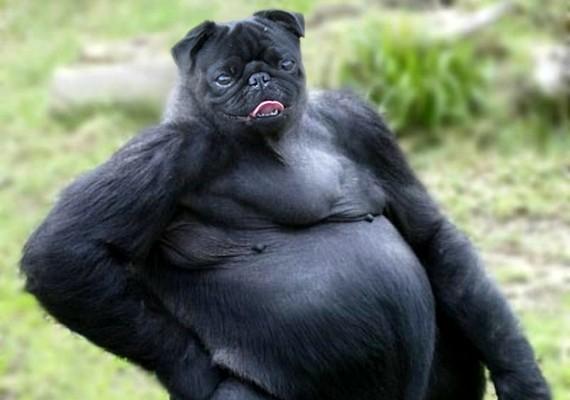 A vicces pózban üldögélő gorilla még mókásabban fest kutyafejjel.