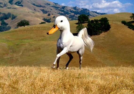 Ilyen lenne egy nagyra nőtt kacsa egy ló testével.