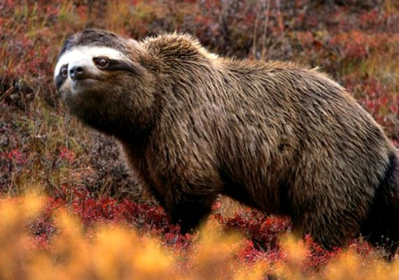 Szinte nem is furcsa látvány a lajhár feje a medve testével.