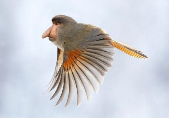 Az ormányos majomnak még jól is állnak a szárnyak.