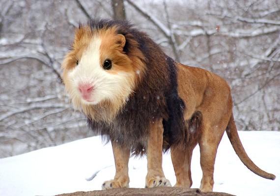 A hörcsög és az oroszlán találkozása.