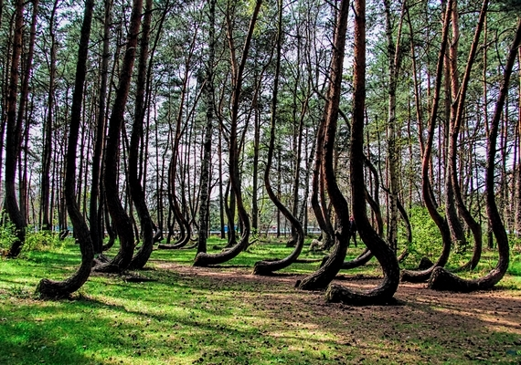 Mintha hosszú kampók alkotnák a fenyőerdő egy részét. Egyesek szerint valakik, valamilyen okból a fákat még csemetekorukban próbálták visszatartani a növésben, vagy el akarták téríteni a növekedési irányukat - az elmélet ingatag lábakon áll.
