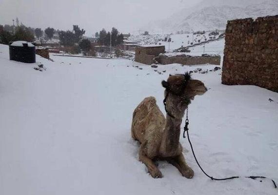 Teve fekszik a hóval borított kairói sivatagban.