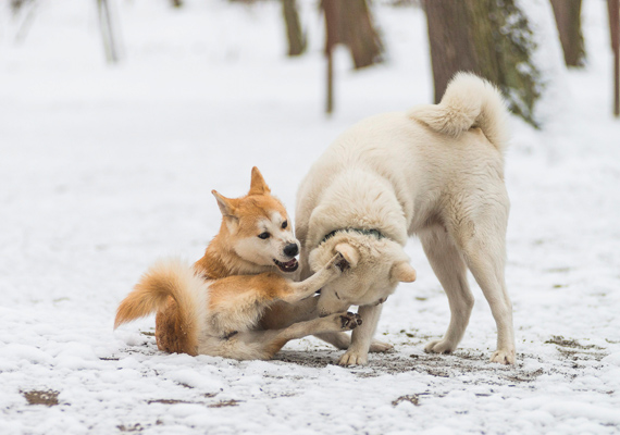 Kutyák játszanak a hóval borított sóstói erdőben, Nyíregyházán.