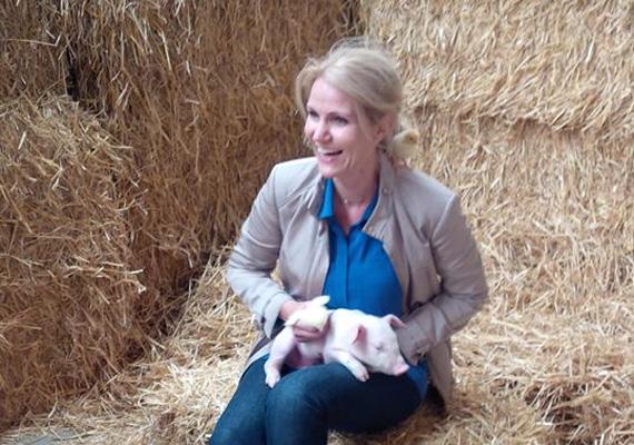 A dán miniszterelnök, Helle Thorning-Schmidt úgy látszik, malacokkal is szívesen fotózkodik a megyei vásár alkalmával.