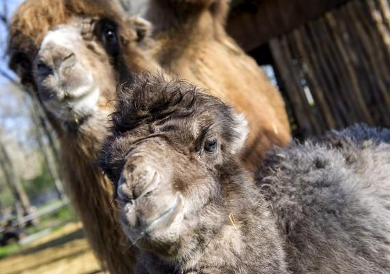 Néhány nap eltéréssel a Szegedi Vadaspark két tevekancája is utódot hozott a világra.