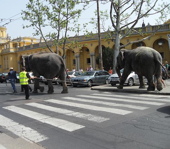 Elefántok vonulnak a Fővárosi Nagycirkusz előtt a majális alkalmából.