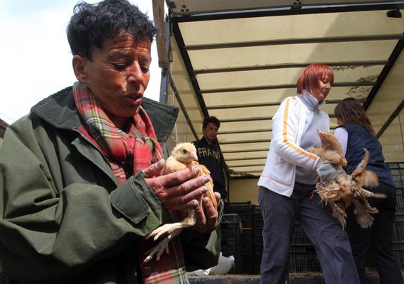 Hegedűs Zsuzsa szociológus, a miniszterelnök főtanácsadója, a Minden Gyerek Lakjon Jól Alapítvány kuratóriumának elnöke kezében egy csirkével Tiszacsegén, ahol háromszáz családnak osztott ki 5575 előnevelt csirkét.