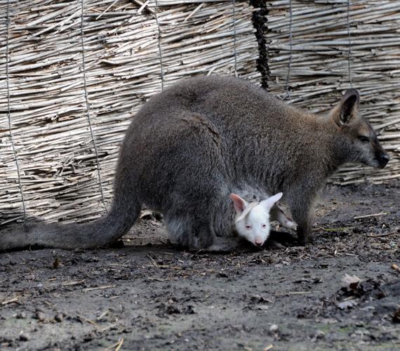 Albínó Benett-kenguruk születtek a Szegedi Vadasparkban.
