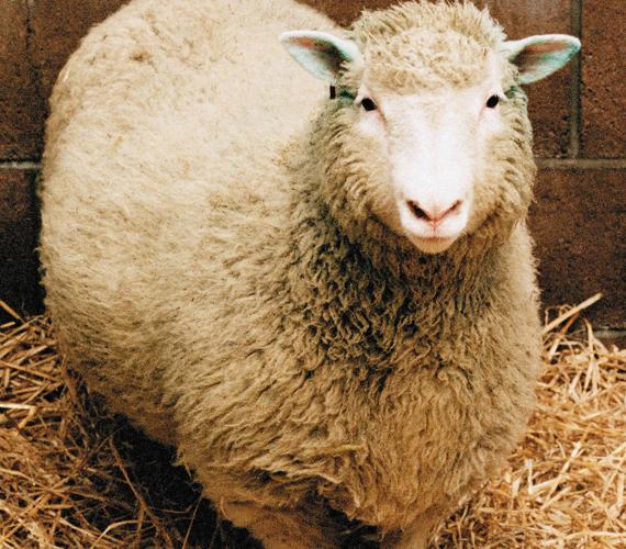 Dolly, a birka a világ első klónozott emlőseként írta be magát a történelemkönyvekbe.