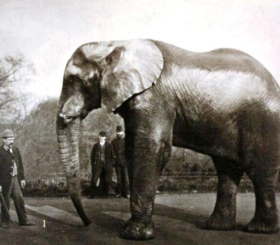 Jumbo a London Zoo sztárja volt. Mikor egy cirkusznak akarták eladni, 100 ezer iskolás írt levelet Viktória királynőnek, hogy ne tegyék.