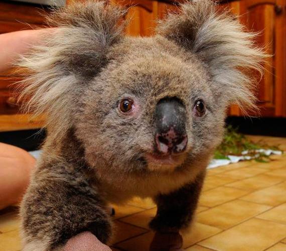 Samet, a koalát a 2009-es ausztráliai erdőtűzből mentették ki. Bár később sérülései miatt elaltatták, igazi legendává vált.