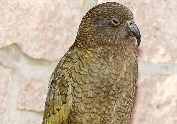 Nem tart örökké: Nelsonból hamarosan ilyen jóképű kea papagáj válik.