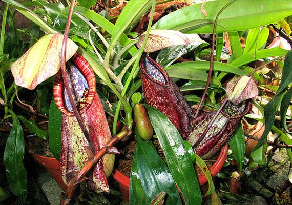 A kancsóka - Nepenthes Truncata - szó szerint halálos növény: legalábbis az apróbb bogarak számára, amelyekkel táplálkozik.