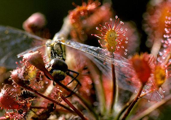 A kereklevelű harmatfű - Drosera rotundifolia - elsősorban legyekkel táplálkozik.