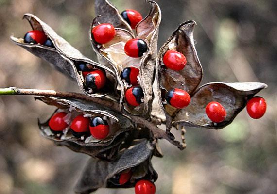 Az olvasóbokor - Abrus precatorius - erősen mérgező növény, Kínában ennek ellenére - vagy éppen ezért - a szerelem jelképének tartják.