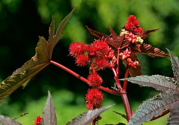 A ricinus - Ricinus communis - a Guiness-rekordok könyve szerint is a világ legmérgezőbb növénye.