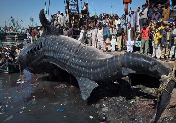 A cetcápa a legnagyobb jelenleg élő halfaj a világon, átlagos hossza négy-hat méter, de akadnak kivételesen nagy példányok is.